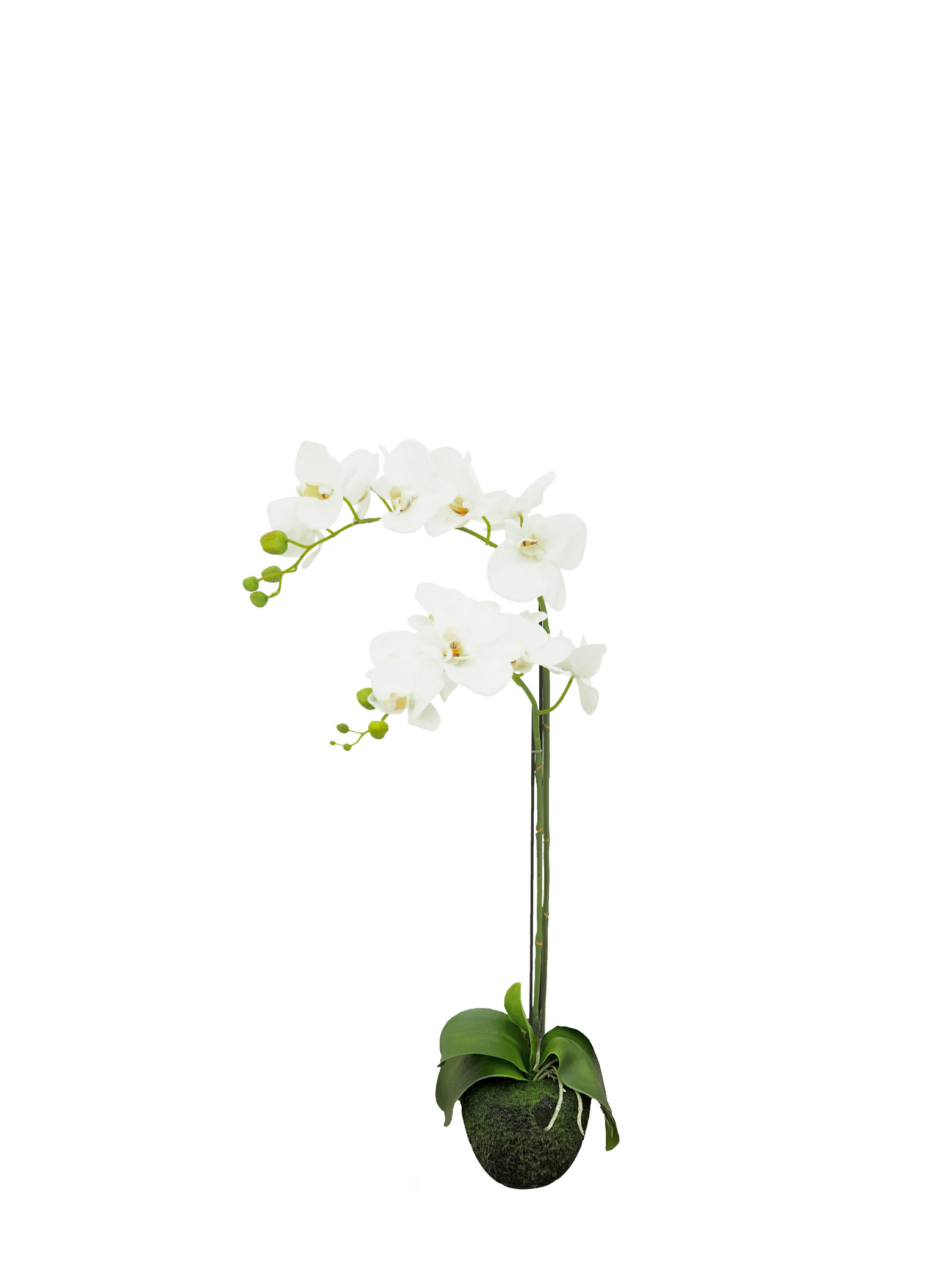 White Phalaenopsis, White Orchid