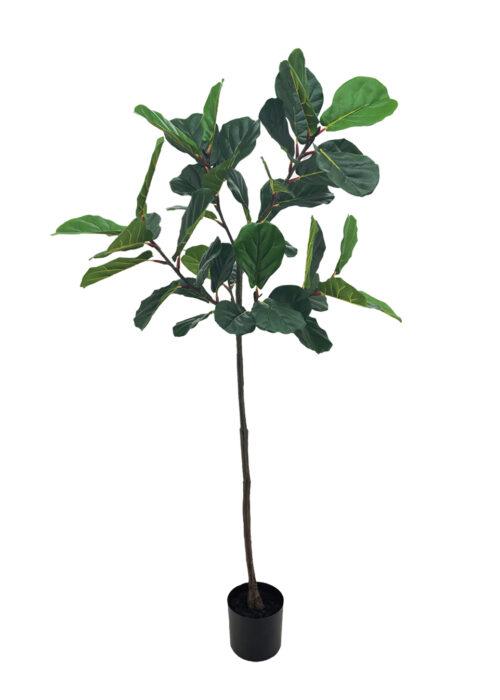 1.8 fiddle plant